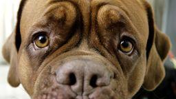 Trauriger Blick einer Bordeaux-Doggen-Hündin. | Bild:picture-alliance/ Fotograf: Daniel Karmann