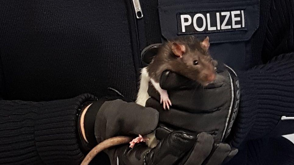 Nahaufnahme einer Ratte, die von einem Bundespolizisten mit Handschuhen in den Händen gehalten wird