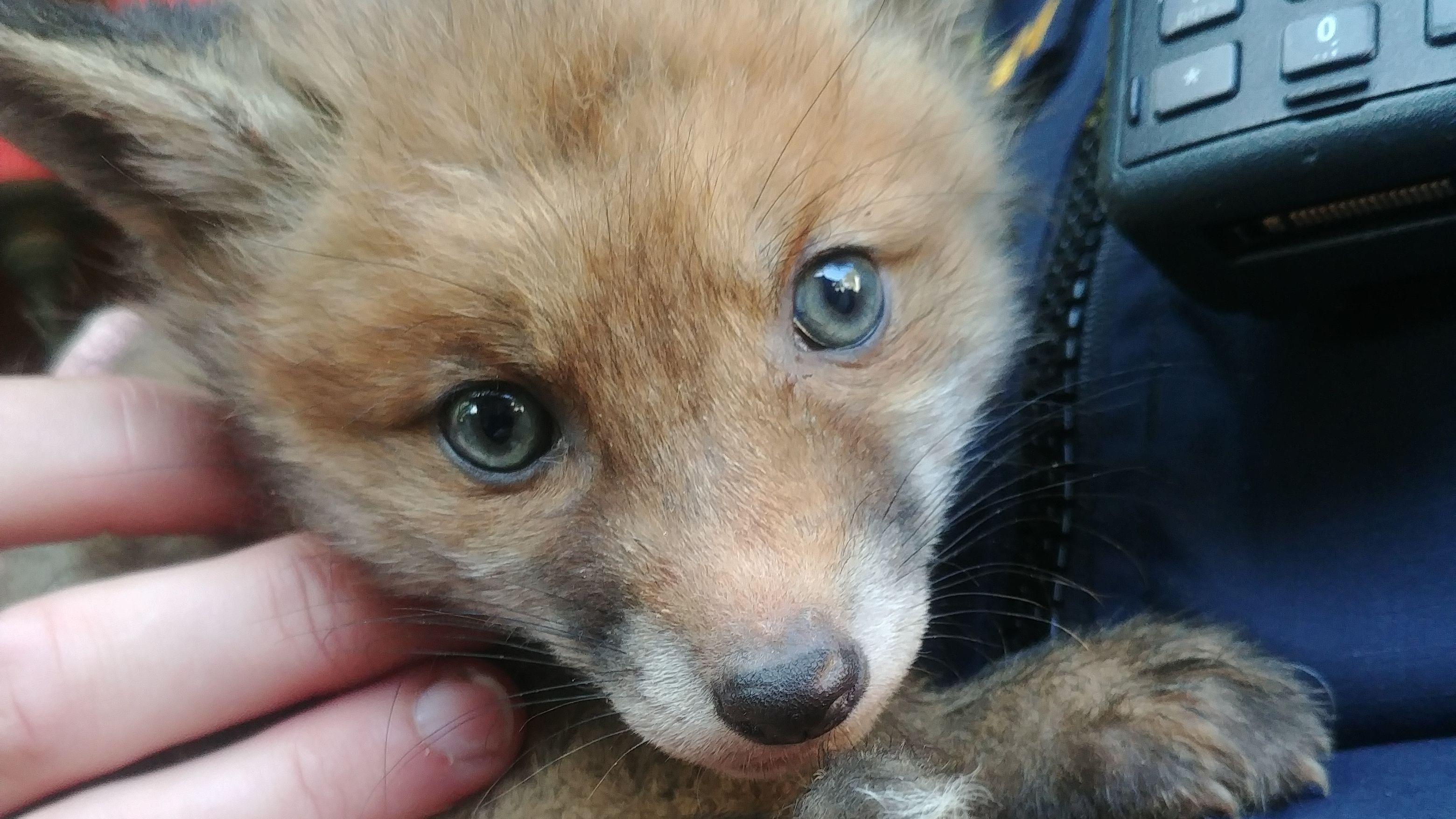 Eines der beiden Fuchsbabys in den Händen einer Polizeibeamtin.
