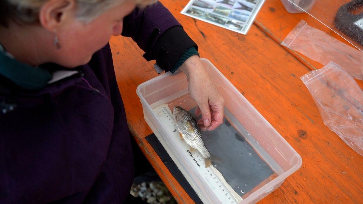 Eine Forscherin untersucht einen Fisch aus einem Wasserkraftwerk.