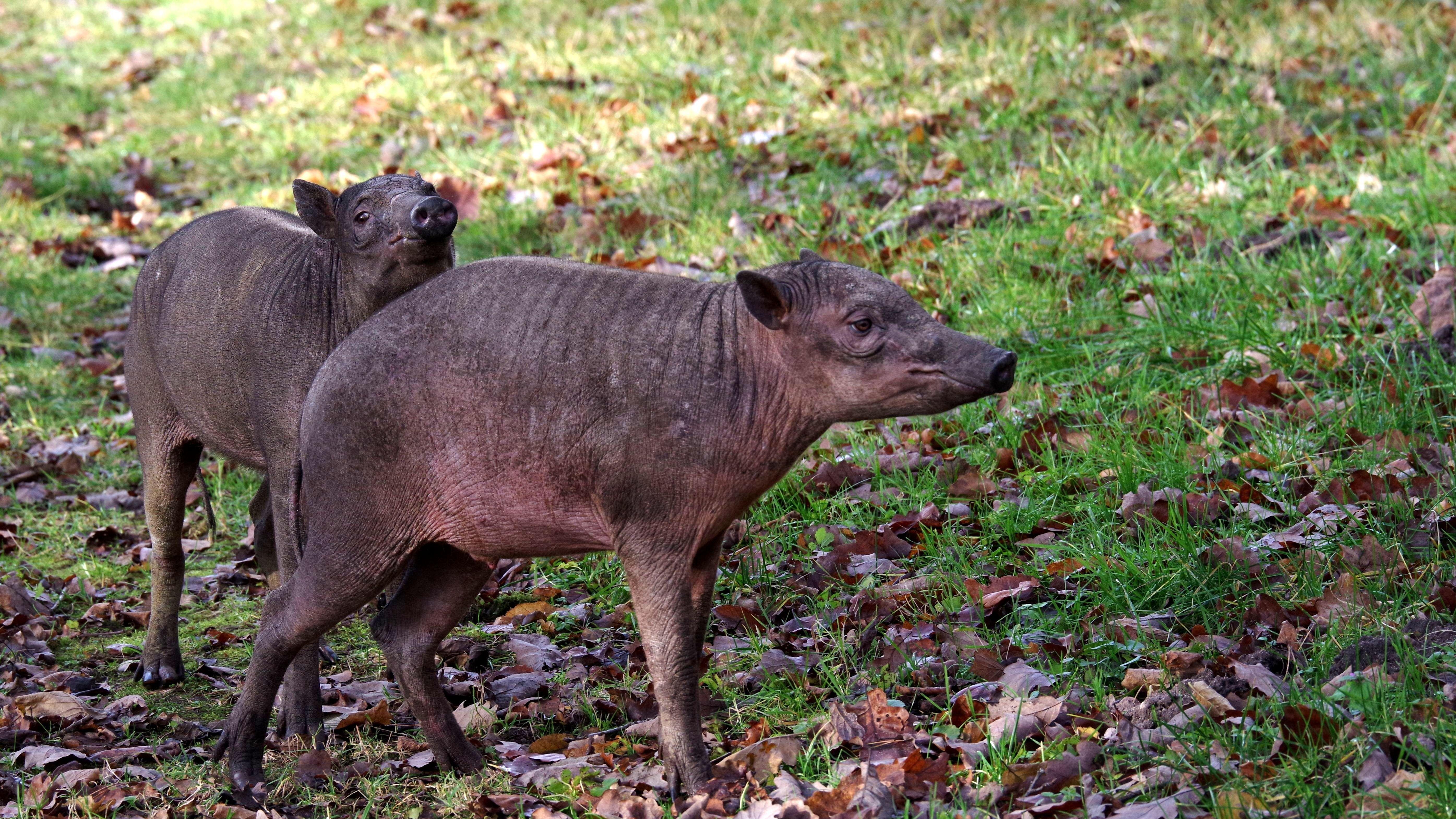Zwei Hirscheber im Freigelände des Tiergartens in Nürnberg