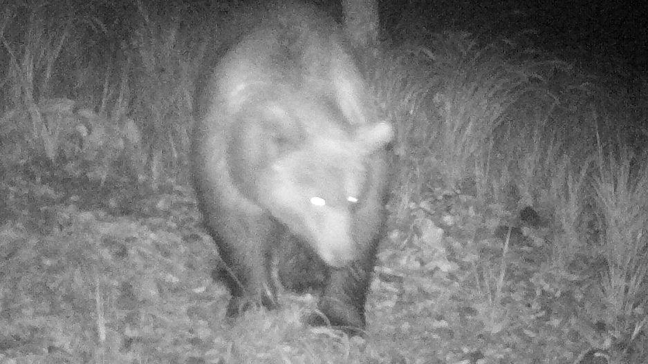 Da war er noch in Österreich: Erstmals tappte der Bär dort am 9. Oktober in der Nähe des Plansees in eine Wildfotofalle.