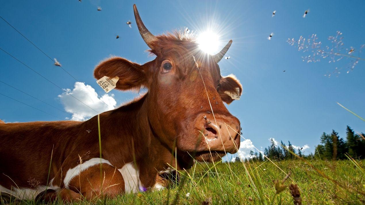 Kuh auf einer Alm.
