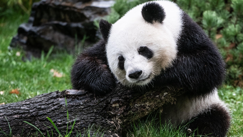 Archivbild: Pandabärin Meng Meng in ihrem Gehege im Berliner Zoo