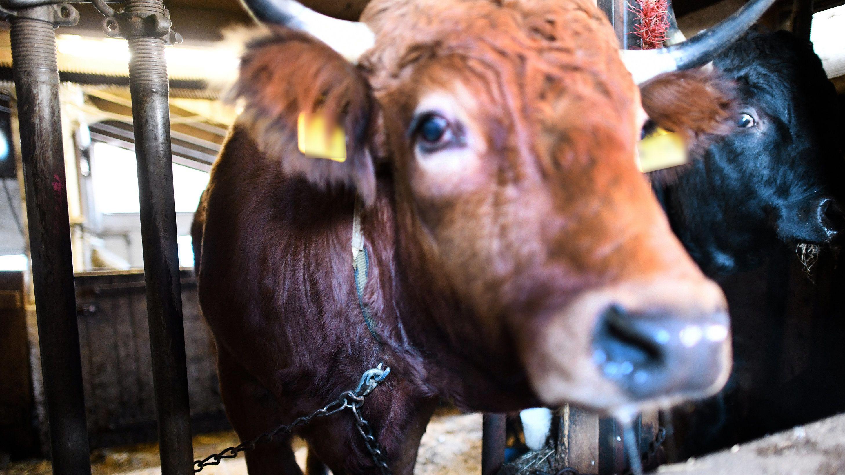 Das Gebiet um Garmisch-Partenkirchen will Teil des UNESCO-Welterbes werden. Die Weiden, Kühe und Bauern sollen geschützt werden. Dazu gehört aus Sicht der Bewerber auch die Anbindehaltung der Kühe im Winter. Tierschützer kritisieren das nun scharf.