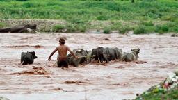 Ein Anwohner versucht mit einer Büffelherde den Fluss Tawi zu überqueren.   Bild:dpa-Bildfunk / Channi Anand