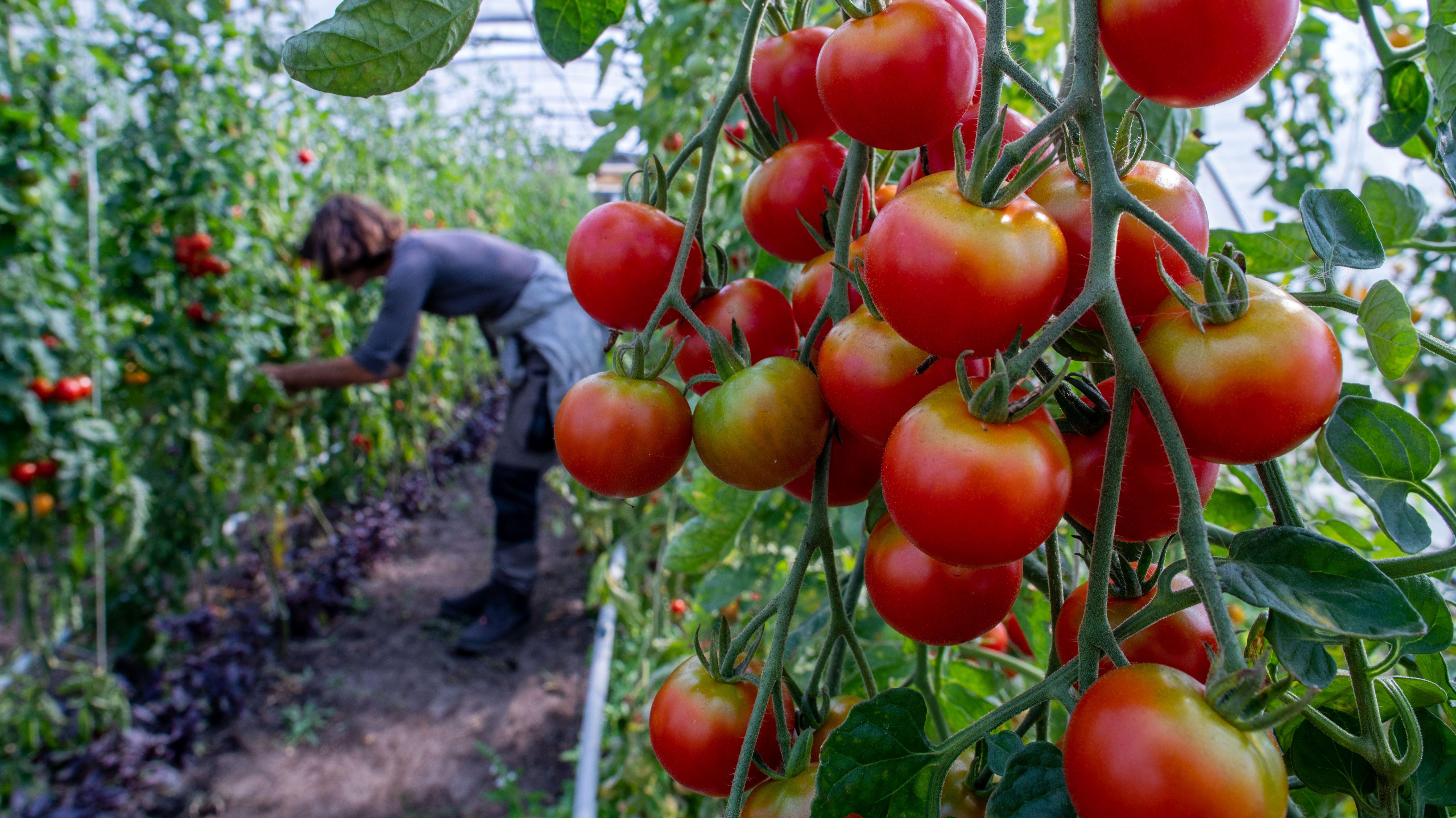 Tomaten wachsen in einem Gewächshaus