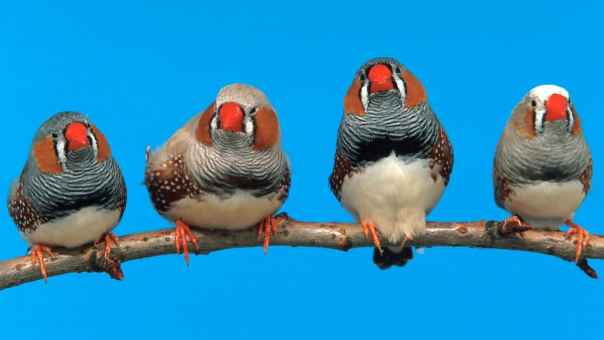 Vier Zebrafinken (Taeniopygia guttata) auf einem Zweig. Studien an Zebrafinken haben gezeigt, dass junge Singvögel ihren Gesang schlechter lernen, wenn sie Verkehrslärm ausgesetzt sind.
