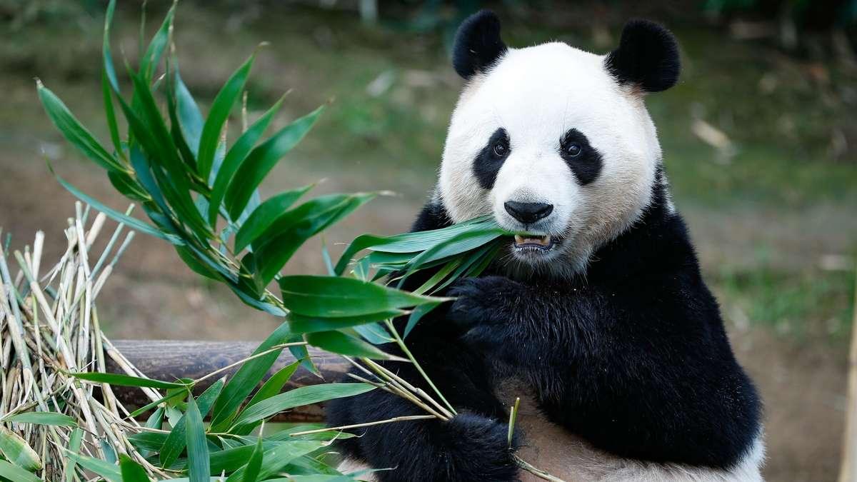 Pandas genießen mehr Schutz als Regenwürmer, weil sie süßer aussehen.