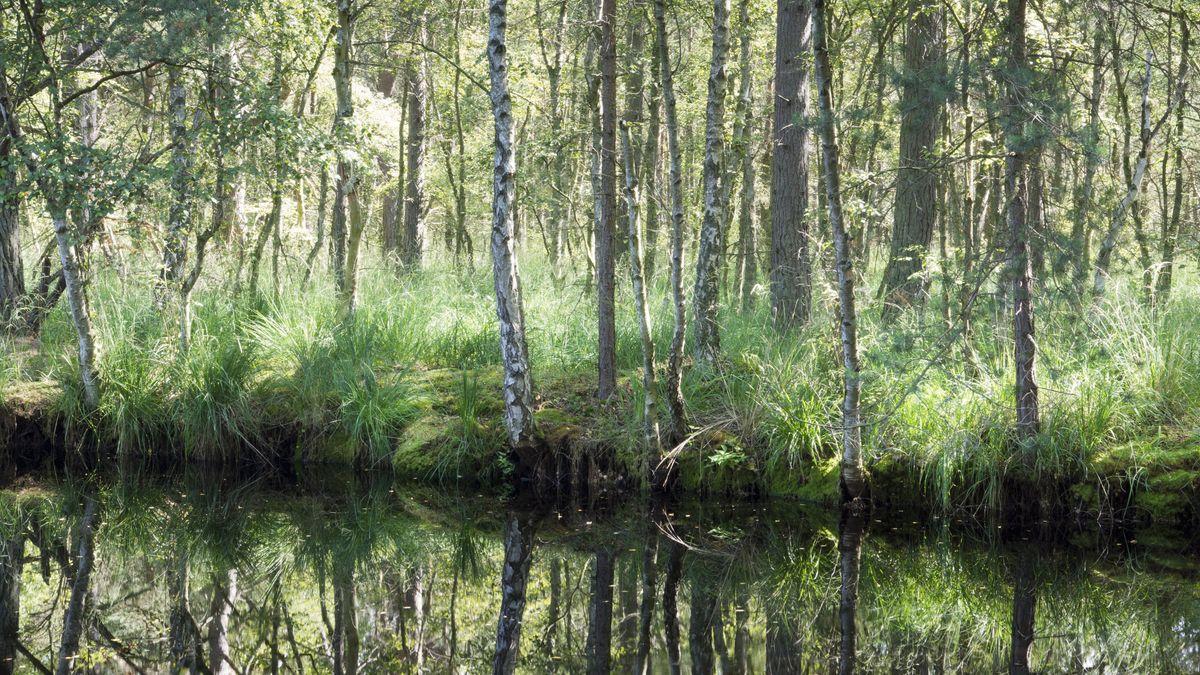 Bäume und Gräser in einem Sumpf spiegeln sich im Wasser.