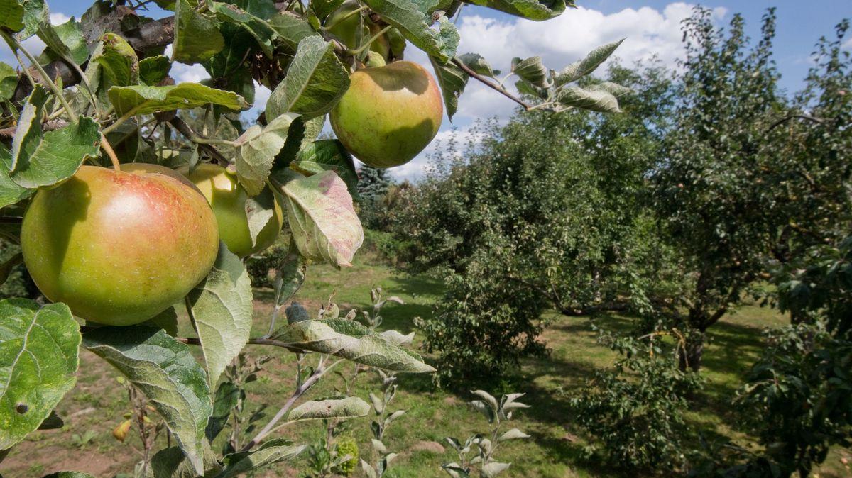 Blick über eine Streuobstwiese - im Vordergrund zwei große Äpfel an einem Baum