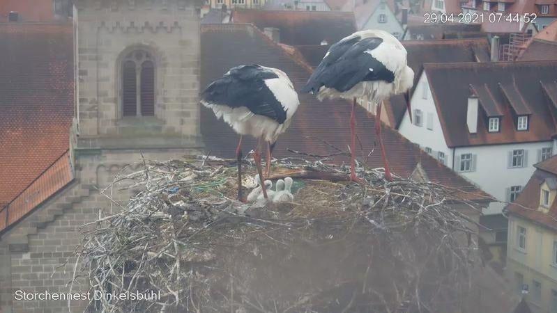 Das Storchenpaar auf dem Dach des alten Rathaus in Dinkelsbühl kümmert sich um vier Jungstörche. Müll im Nest ist deutlich zu sehen.