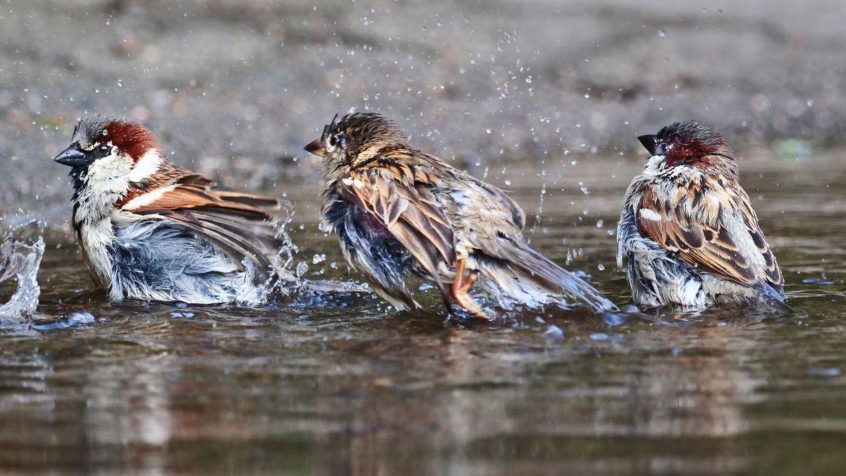 Der Haussperling (Spatz) ist der häufigste Vogel der Welt. Das zeigte die weltweite Vogelzählung australischer Forscher.