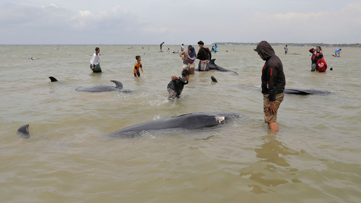Vor wenigen Tagen waren bereits an der indonesischen Küste Kurzflossen-Grindwale gestrandet. Anwohner inspizieren die Kadaver der Säugetiere.