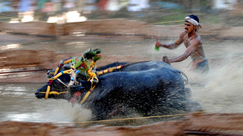 Zwei Wasserbüffel werden von ihrem Jockey beim traditionellen Kambala-Büffel-Lauf angetrieben