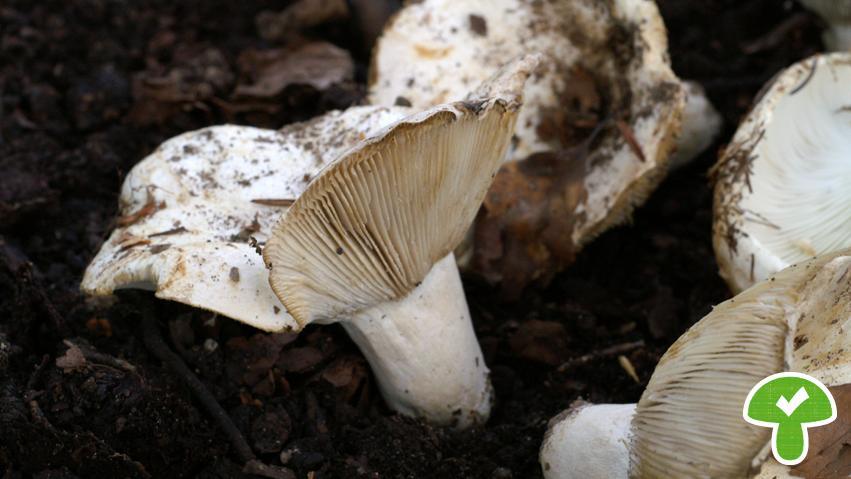 Schmalblättriger Weißtäubling, essbar, verbreitet