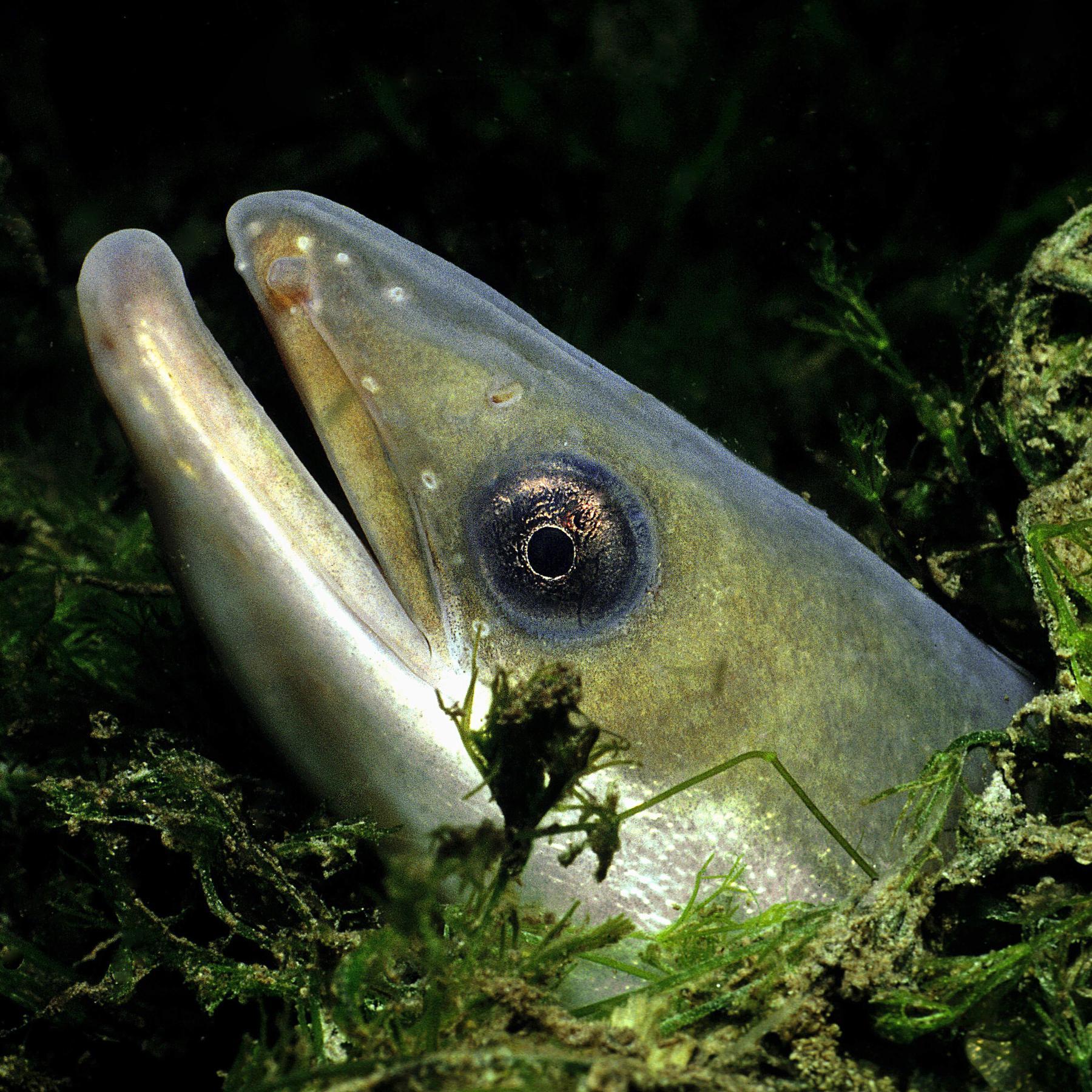 Der Aal - Ein Fisch voller Rätsel