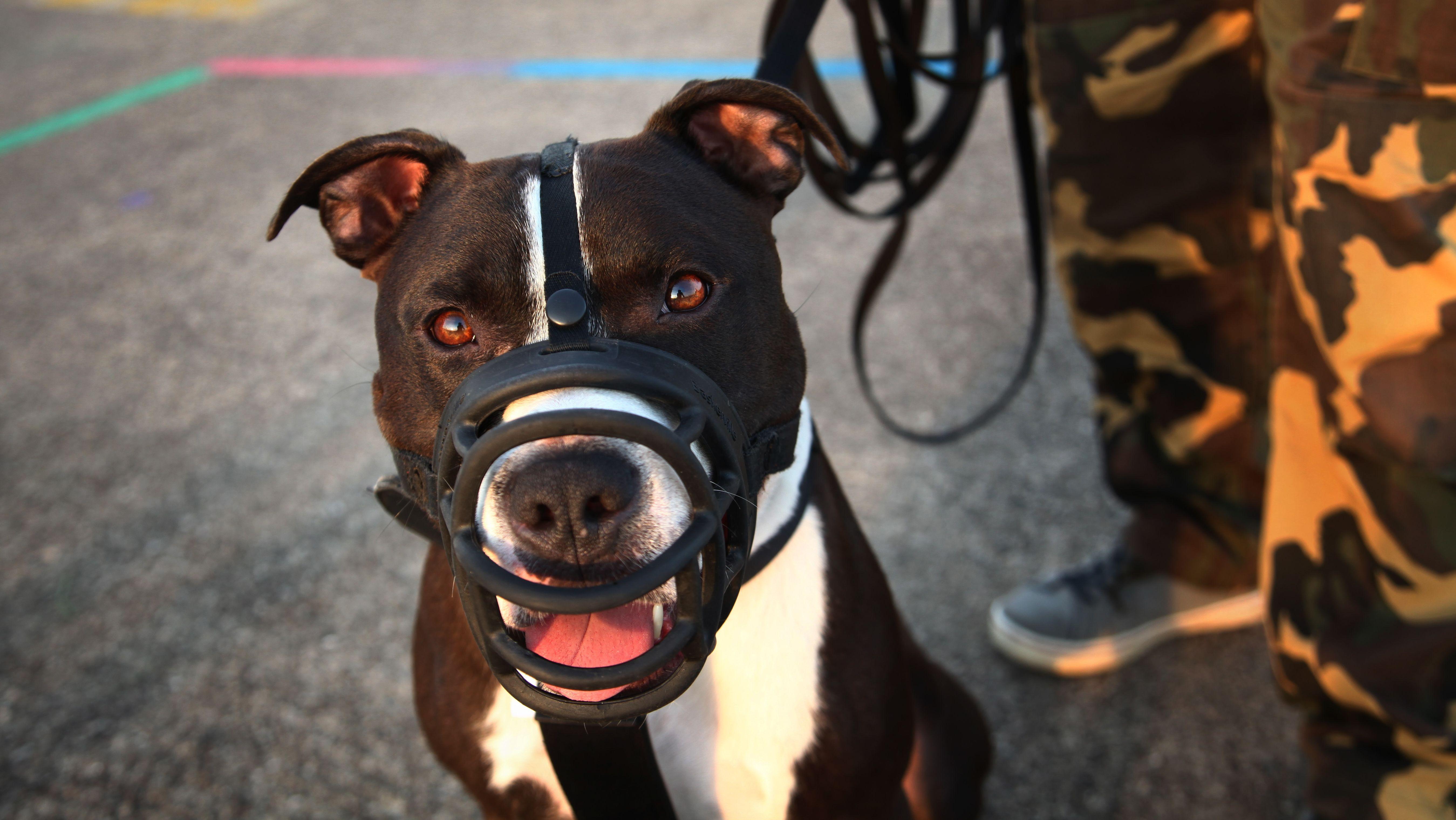 Ein American Staffordshire Terrier mit Maulkorb an der Leine