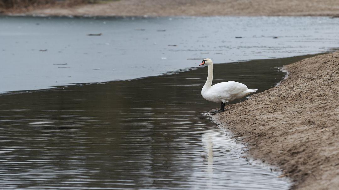Ein Schwan an einem See
