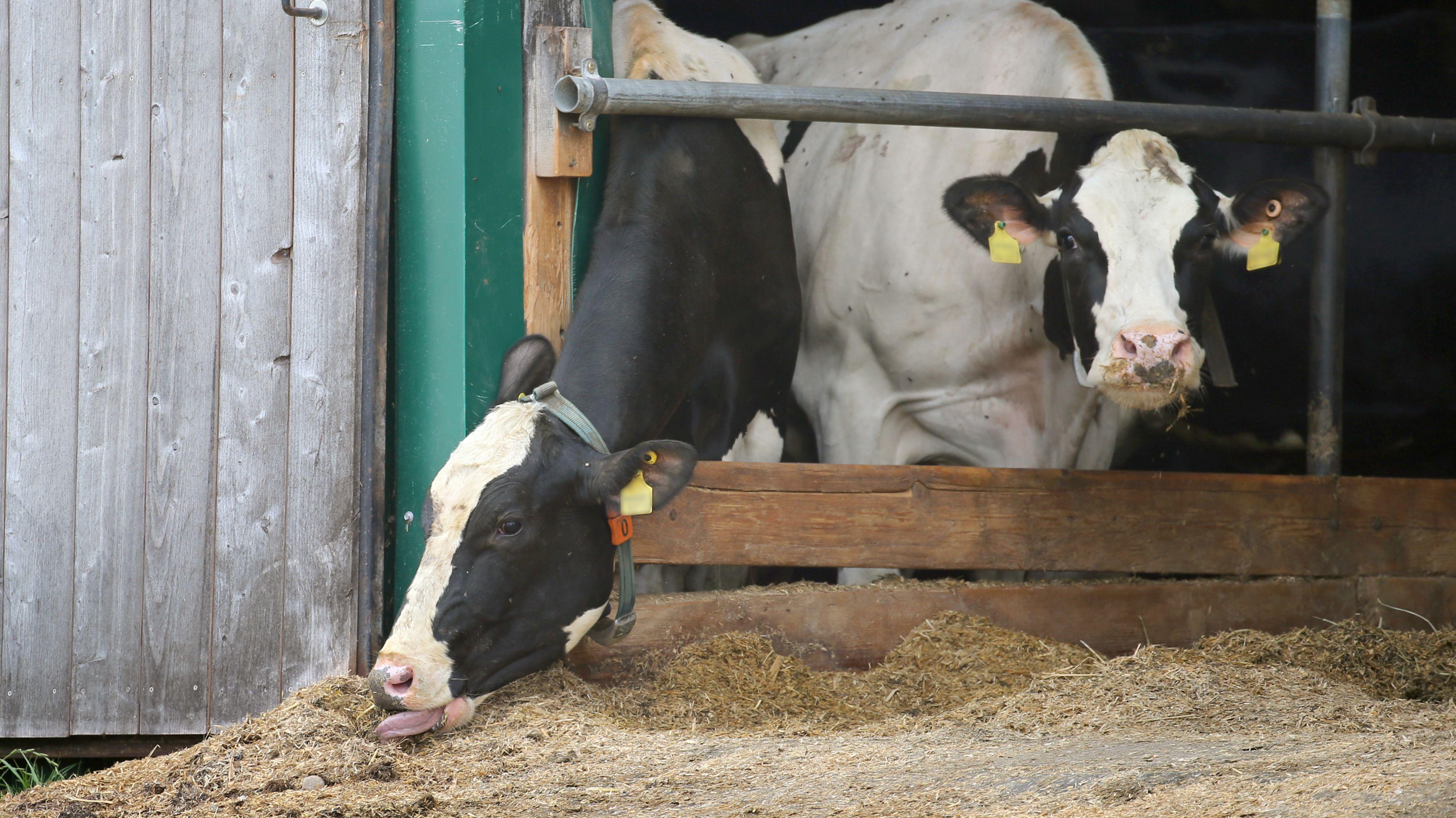 Kühe stehen in dem skandalumwitterten landwirtschaftlichen Großbetrieb in Bad Grönenbach in einem Stall.