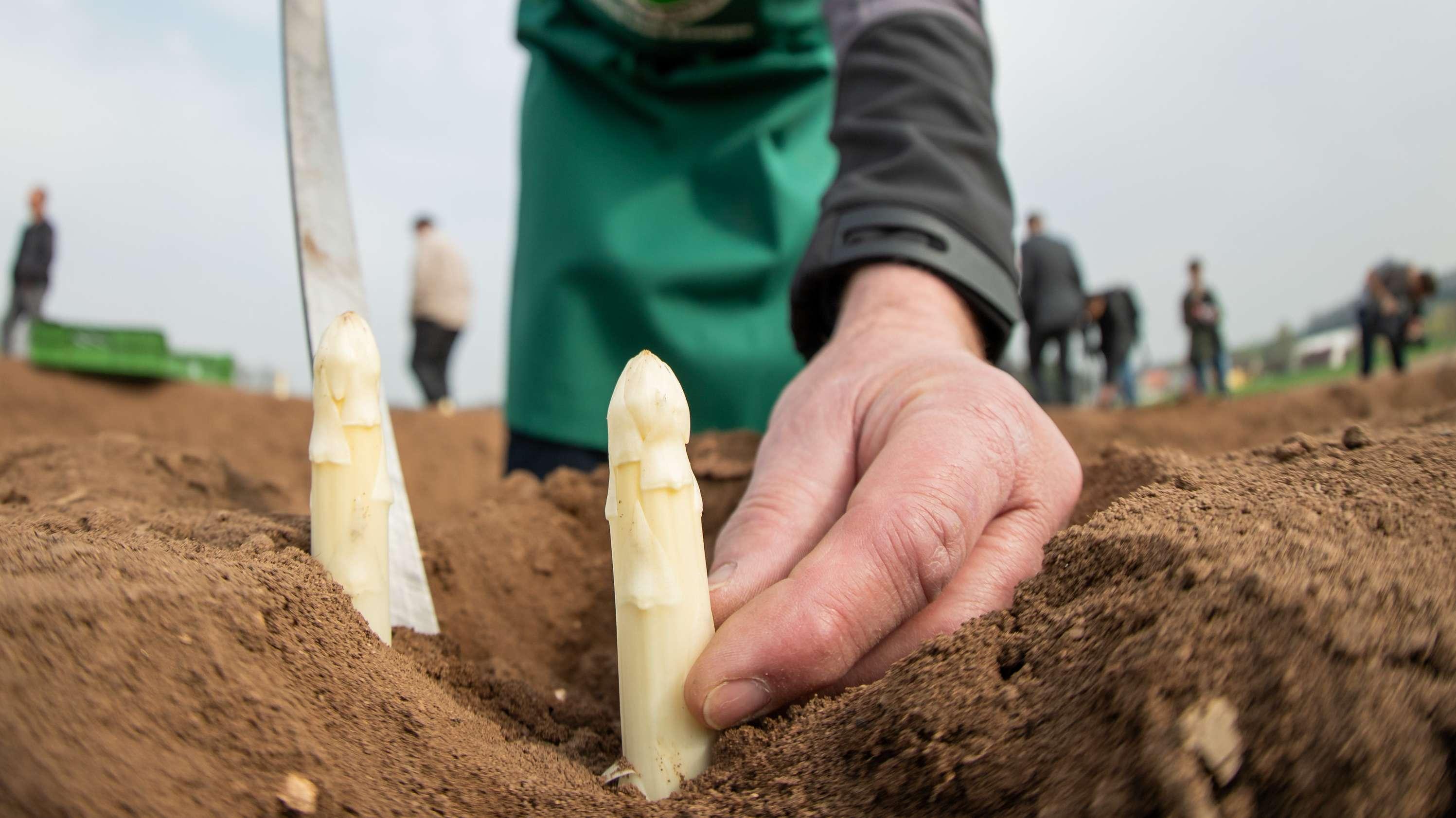 Ein Spargel-Bauer sticht anlässlich der Eröffnung der bayerischen Spargelsaison Spargel