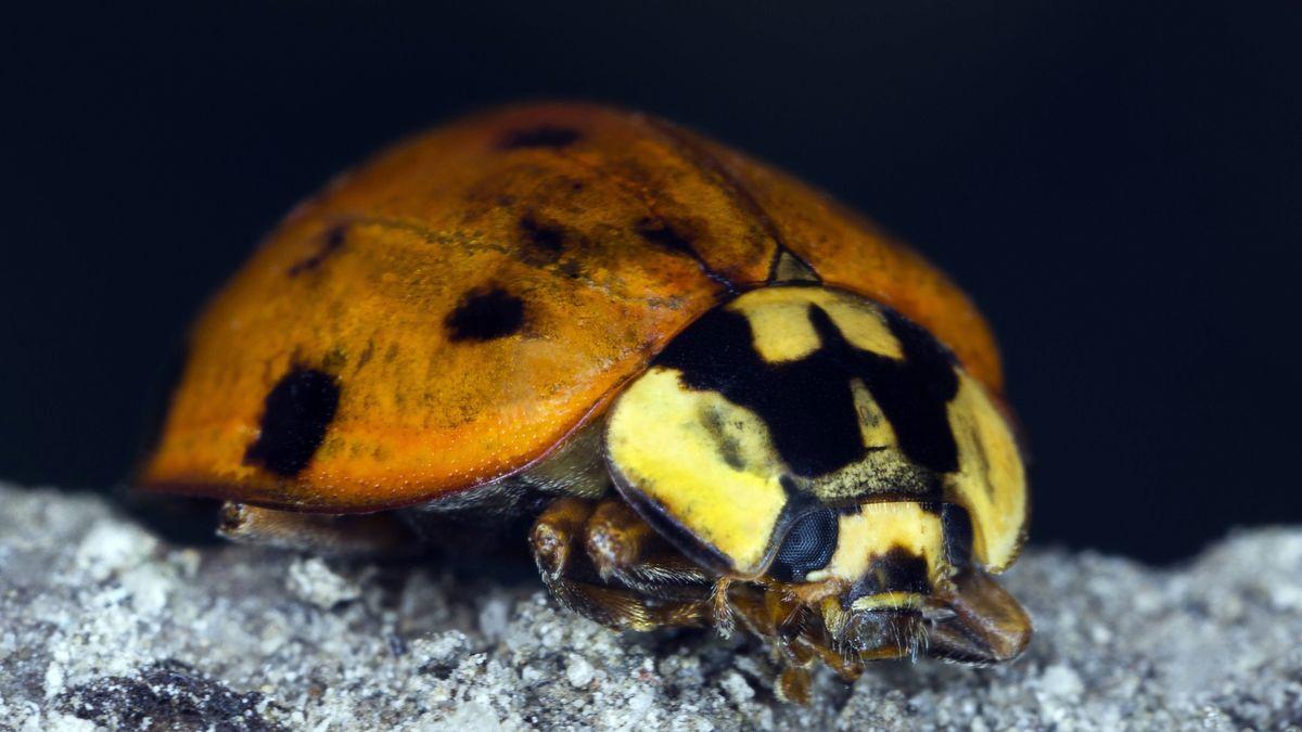 Nachtaufnahme eines Asiatischen Marienkäfers