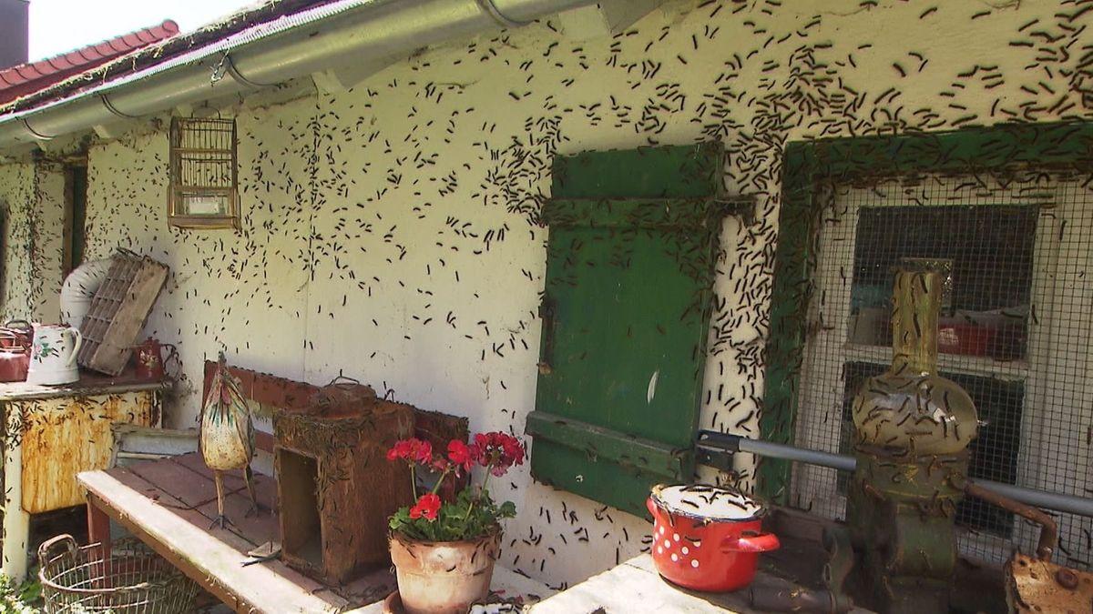 Von Schwammspinnerraupen befallenes Haus in Gunzenhausen