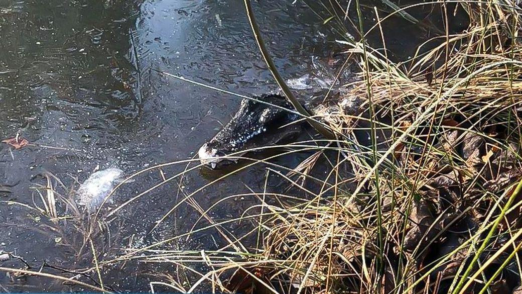 Täuschend echt sieht der Plastik-Krokodilskopf am Rand des Tümpels aus