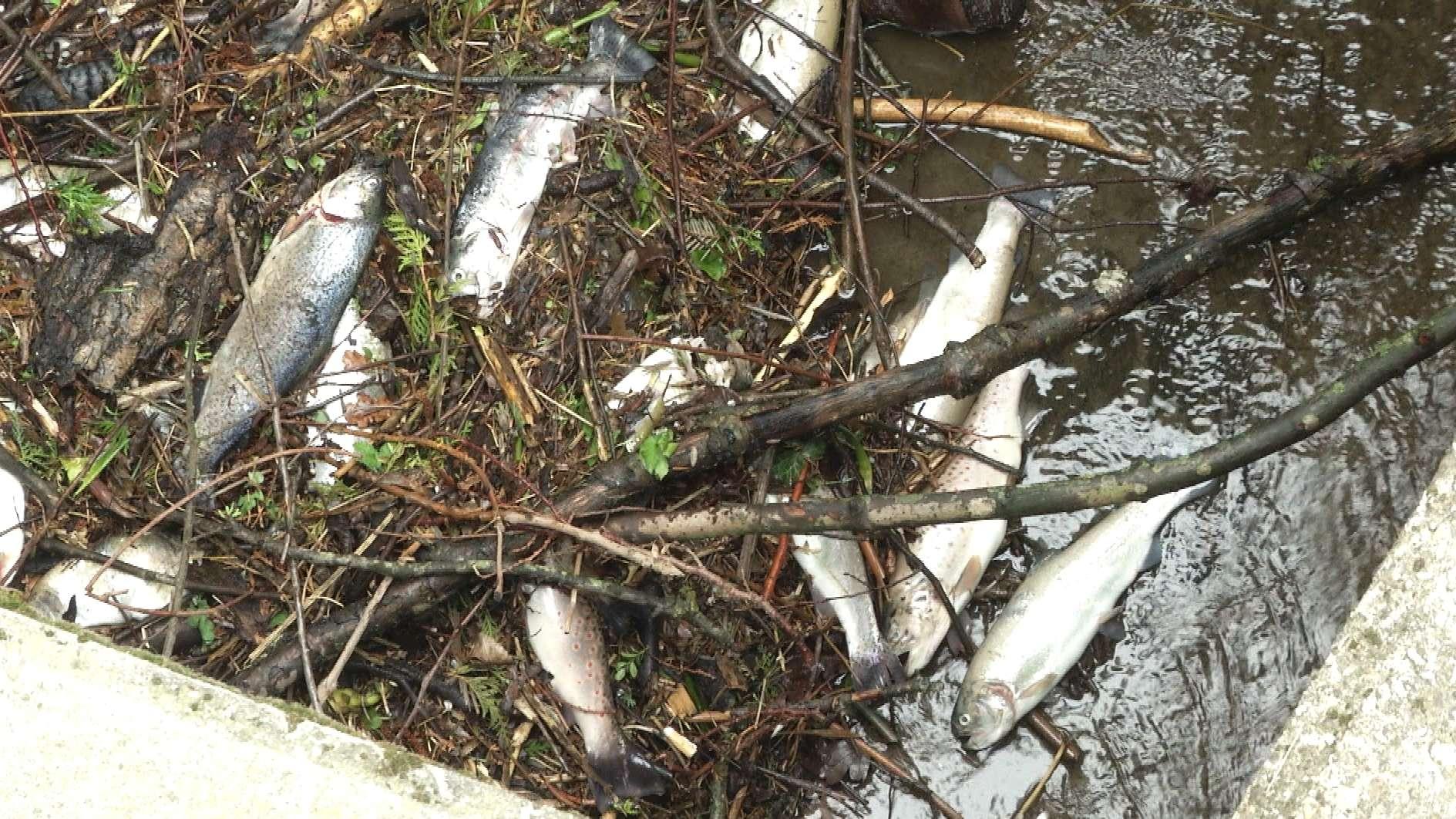 Tote Fische in der Isen