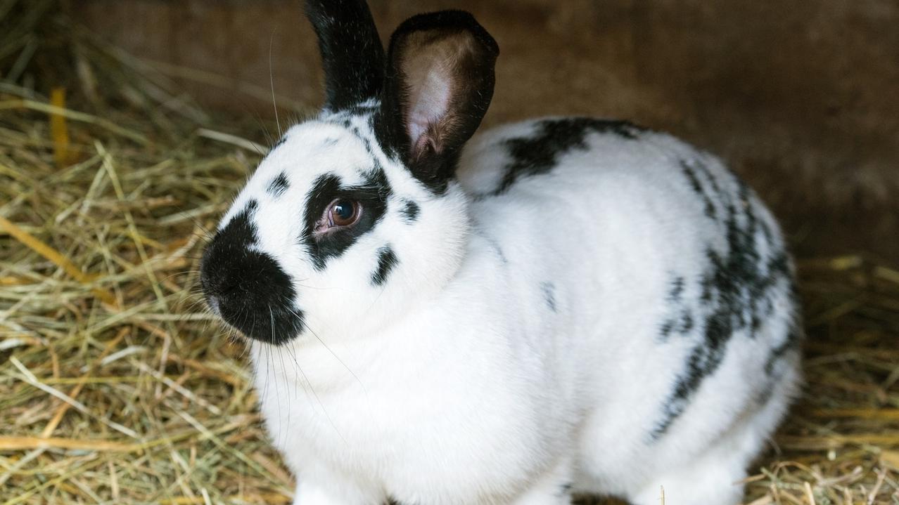 Kaninchen(Symbolbild)