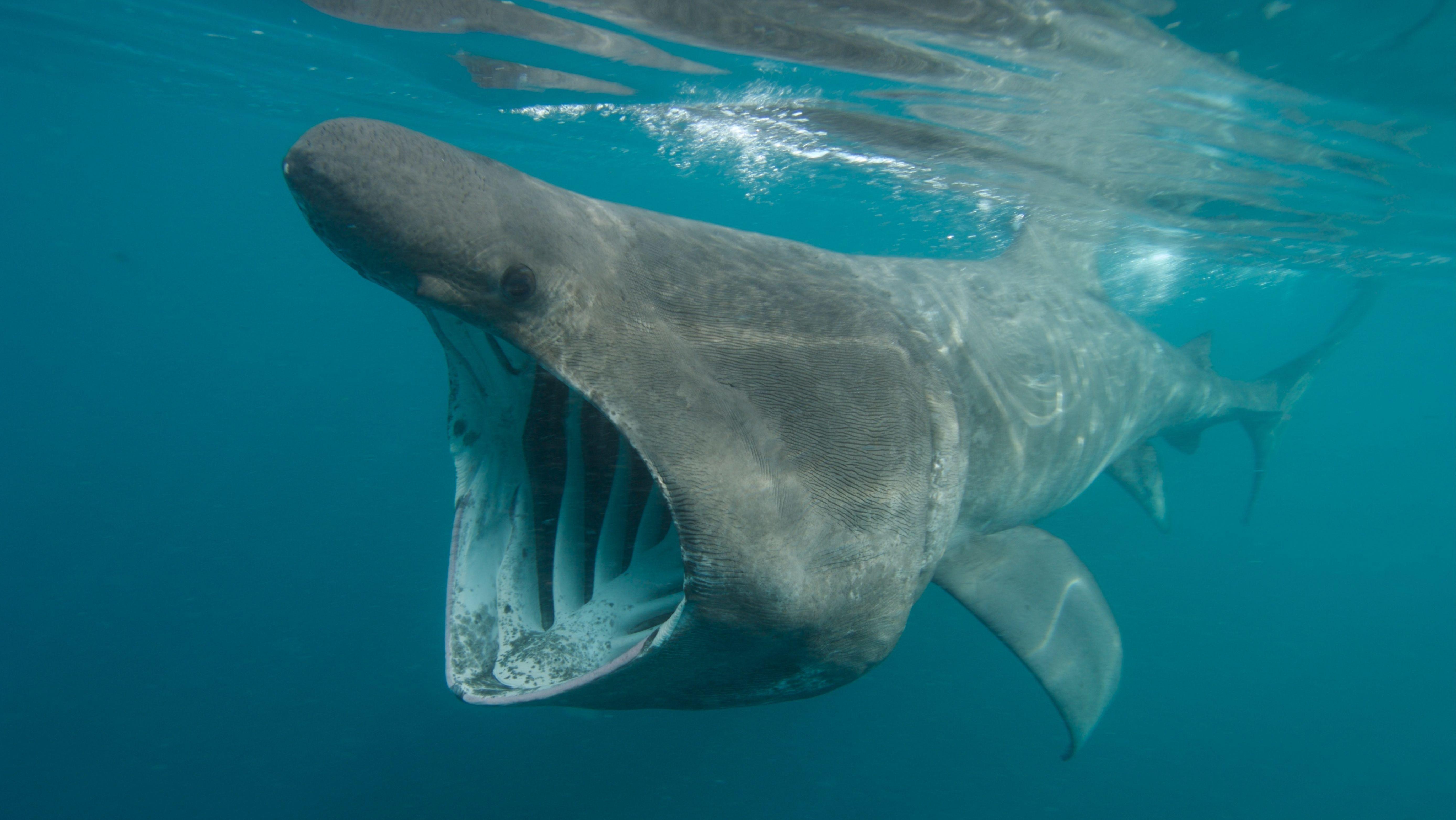 Archivbild 2007. Riesenhai (Cetorhinus maximus) siebt mit weit offenem Maul Plankton aus dem Meer.