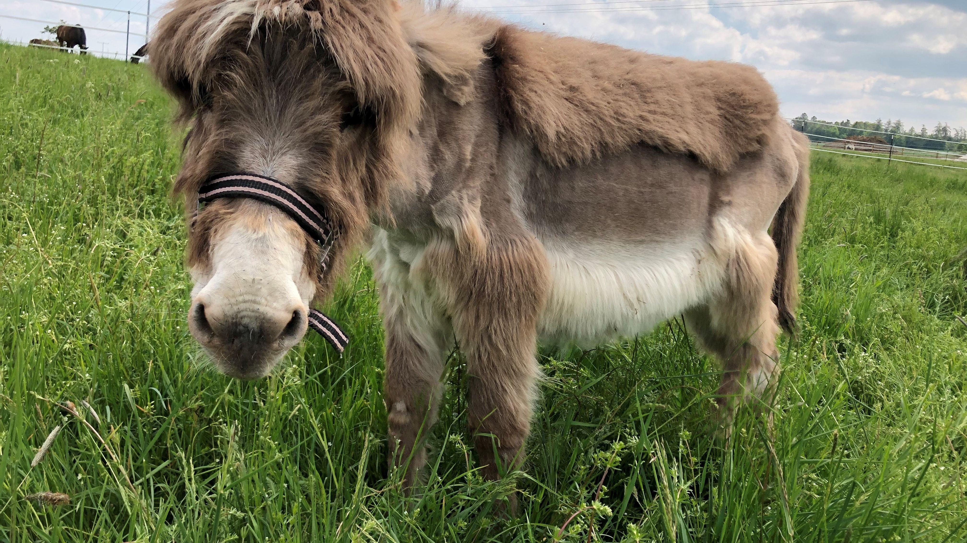 Esel Momo auf seiner Weide in der Nähe von Amberg.