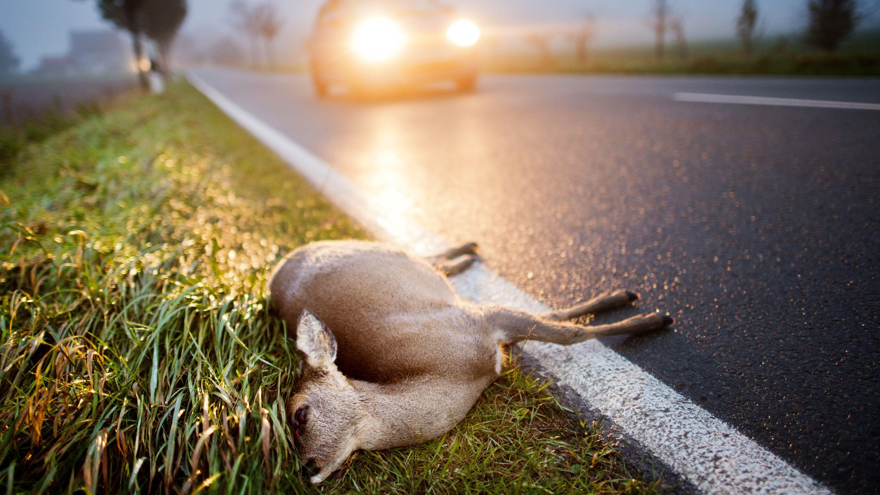 Ein totes Reh liegt nach einer Kollision mit einem Auto tot auf der Fahrbahn (Archivbild)