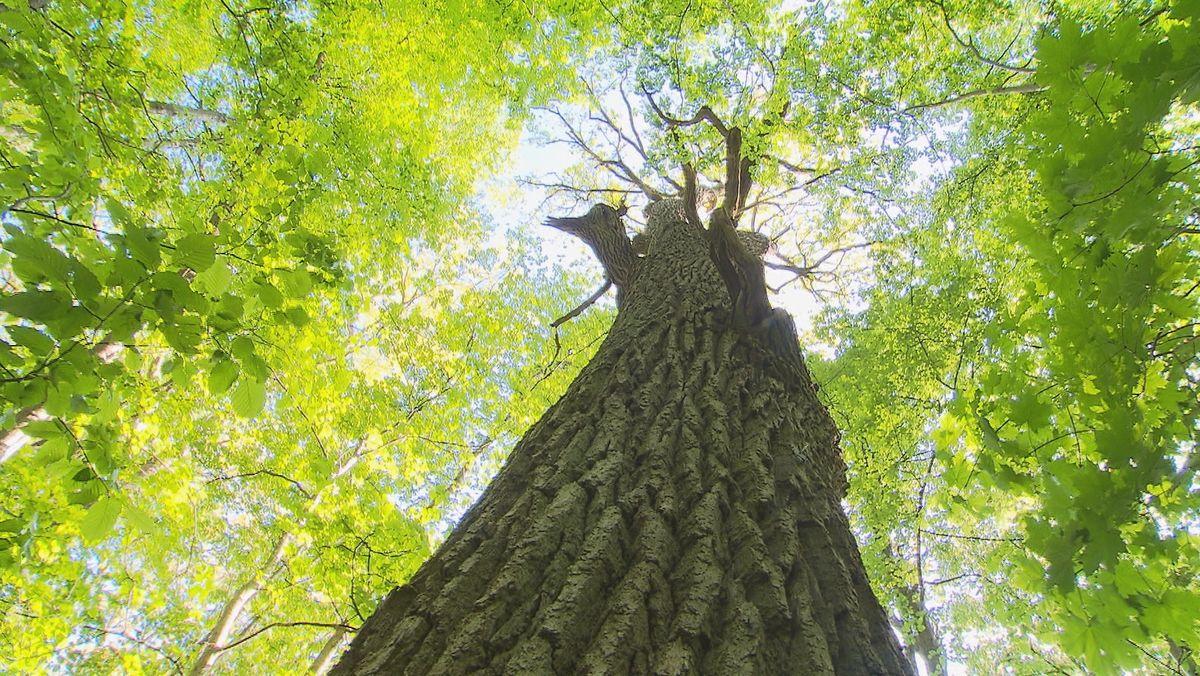 Methusalembaum von Maria Eich