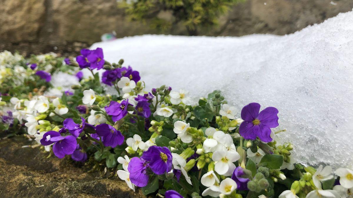 Schneebedeckte Blumen im April