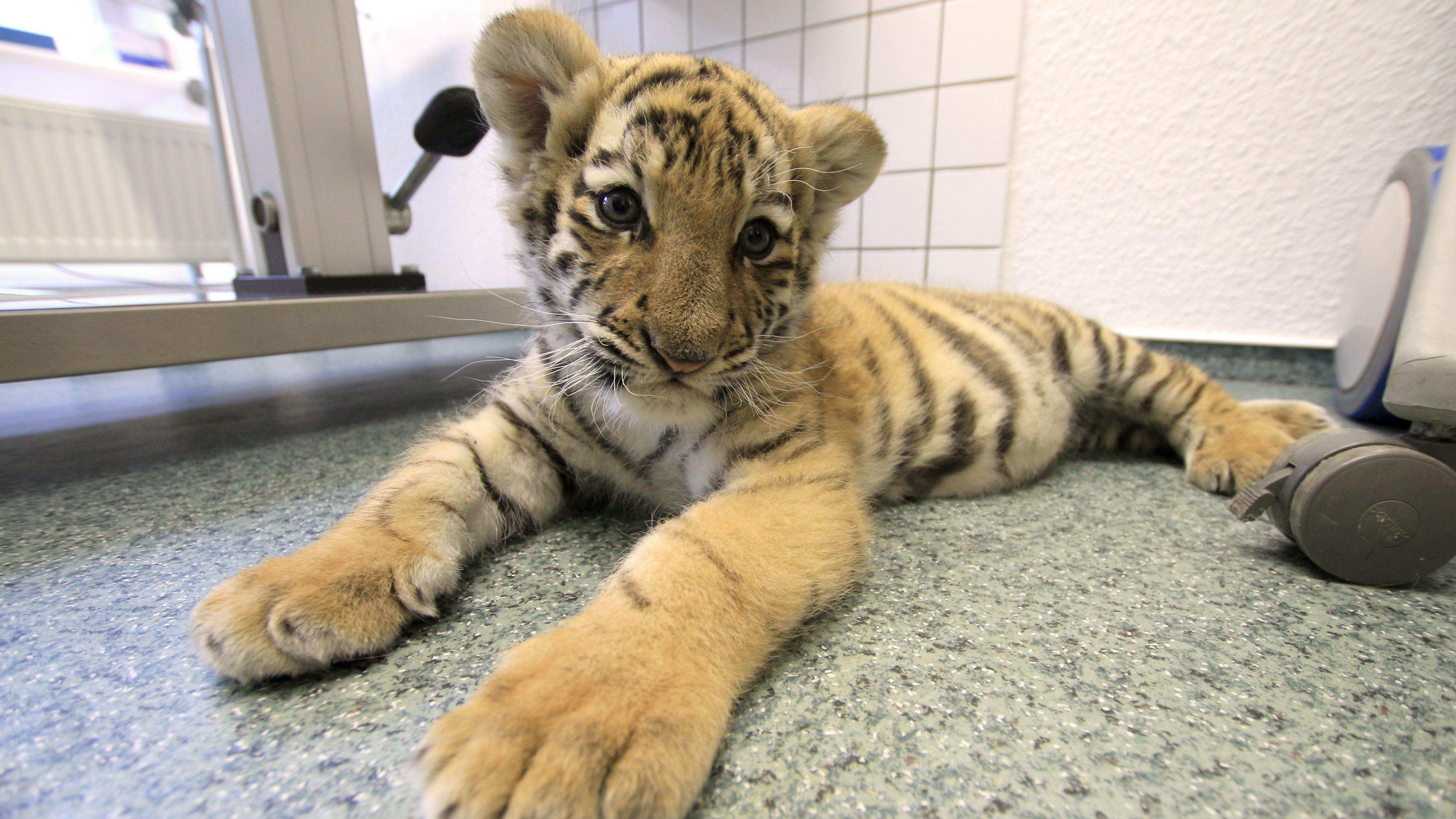 Tigerbaby in einer Tierarztpraxis in Sassnitz
