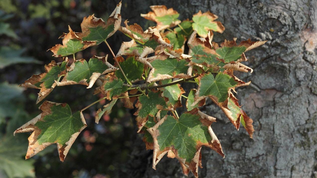 Ein Ahornbaum, dessen Blätter an den Rändern braun sind (Symbolbild)
