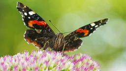 Admiral auf einer Sedum-Blüte sitzend und Nektar saugend. | Bild:picture alliance / blickwinkel/ Fotograf: R. Wilken
