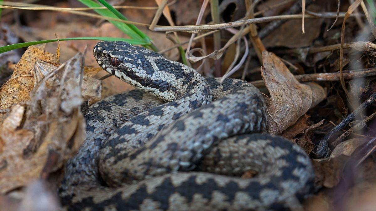 Welttag der Schlange: Giftige Kreuzotter in der Rhön