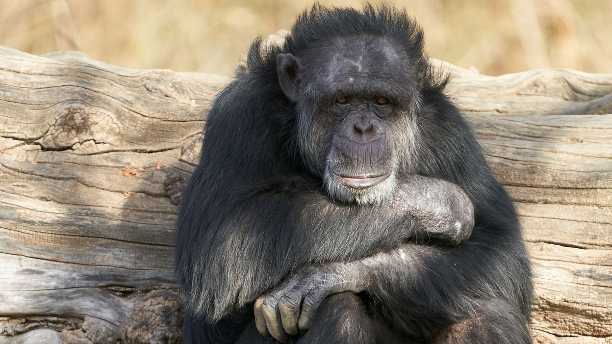 Ein Schimpanse sitzt in einem Zoo auf einem Baumstamm