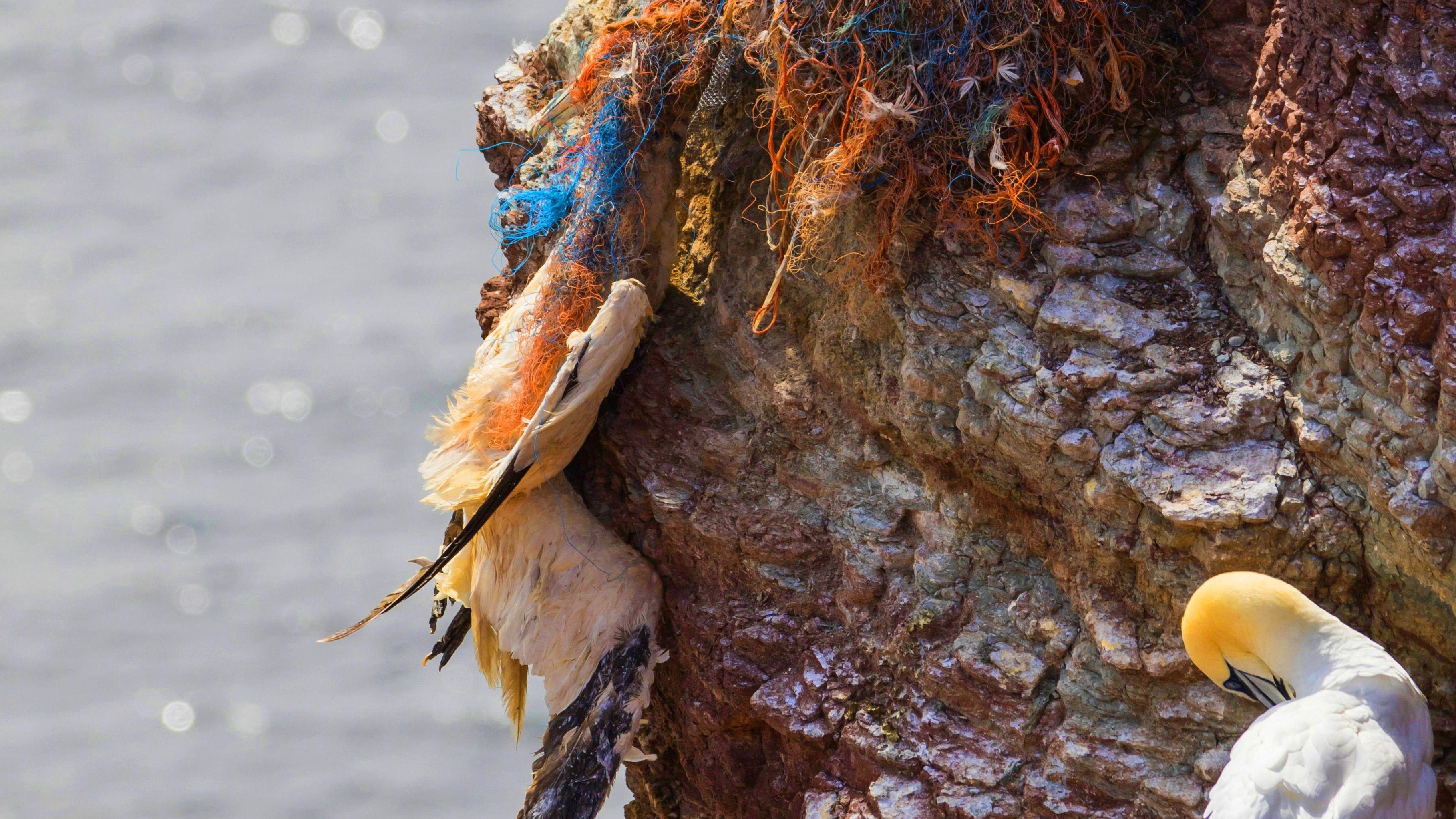 Basstölpel erhängt in Plastikschnüren