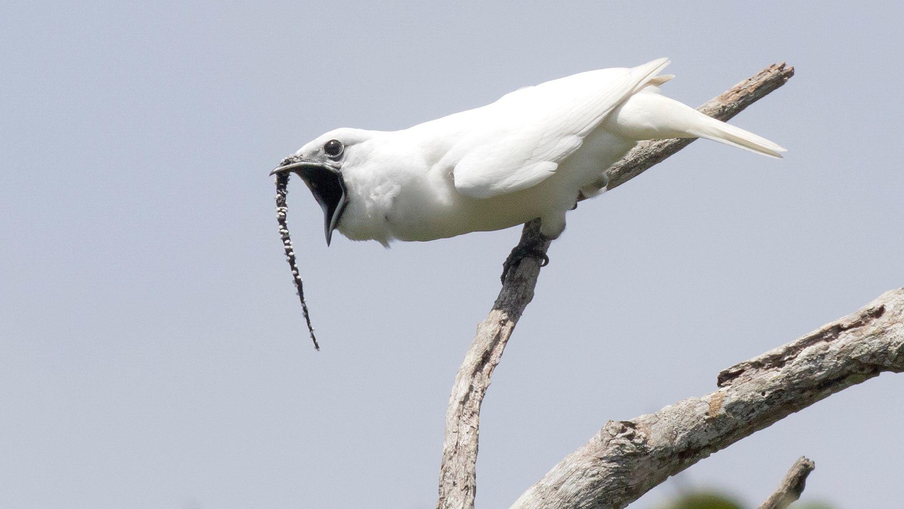 White Bellbirds leben in den Amazonasgebieten.