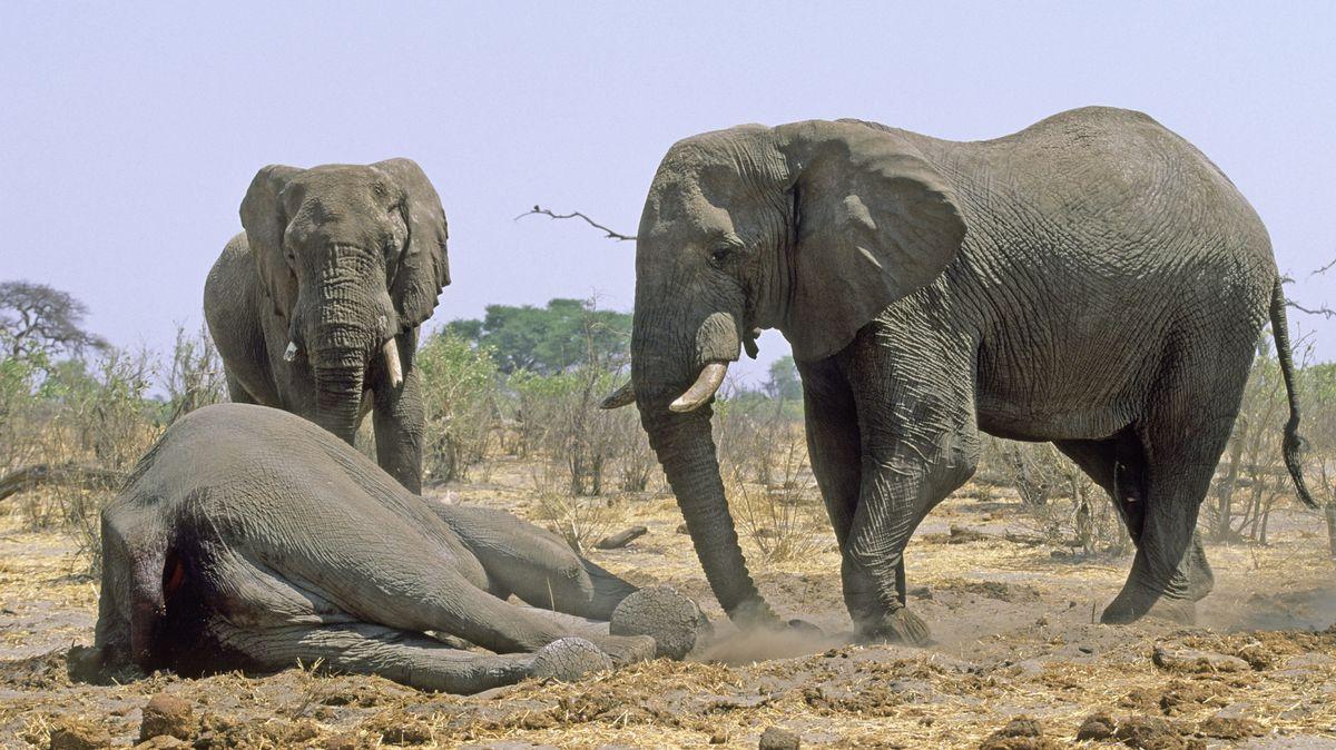 Zwei Elefanten trauern um einen toten Artgenossen.