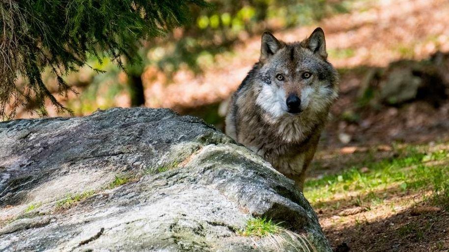 Symbolbild: Ein Wolf im Wald.