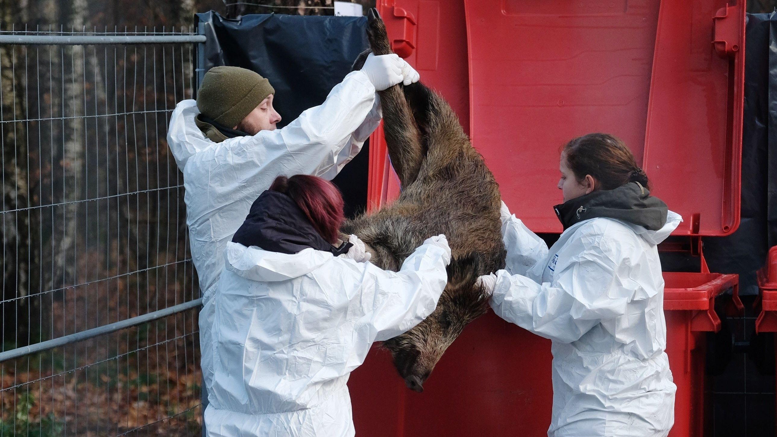 Drei Mitarbeiter eines Veterinäramtes werfen ein totes Wildschwein in eine rote Mülltonne.