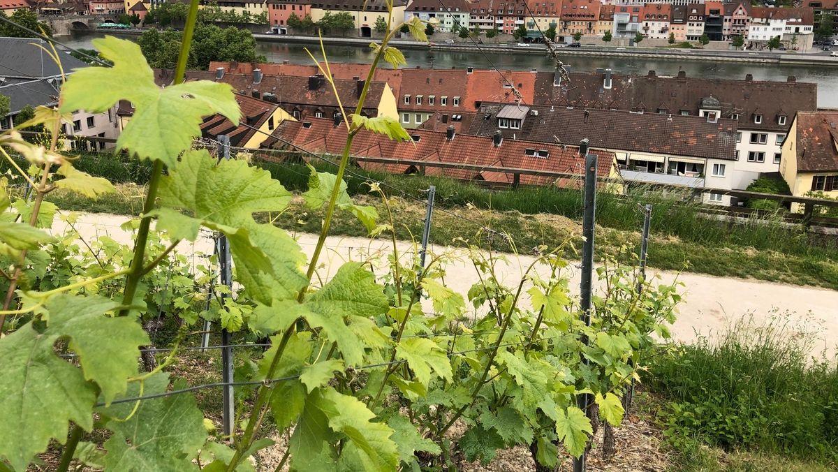 Weinreben am Hang über Würzburg.