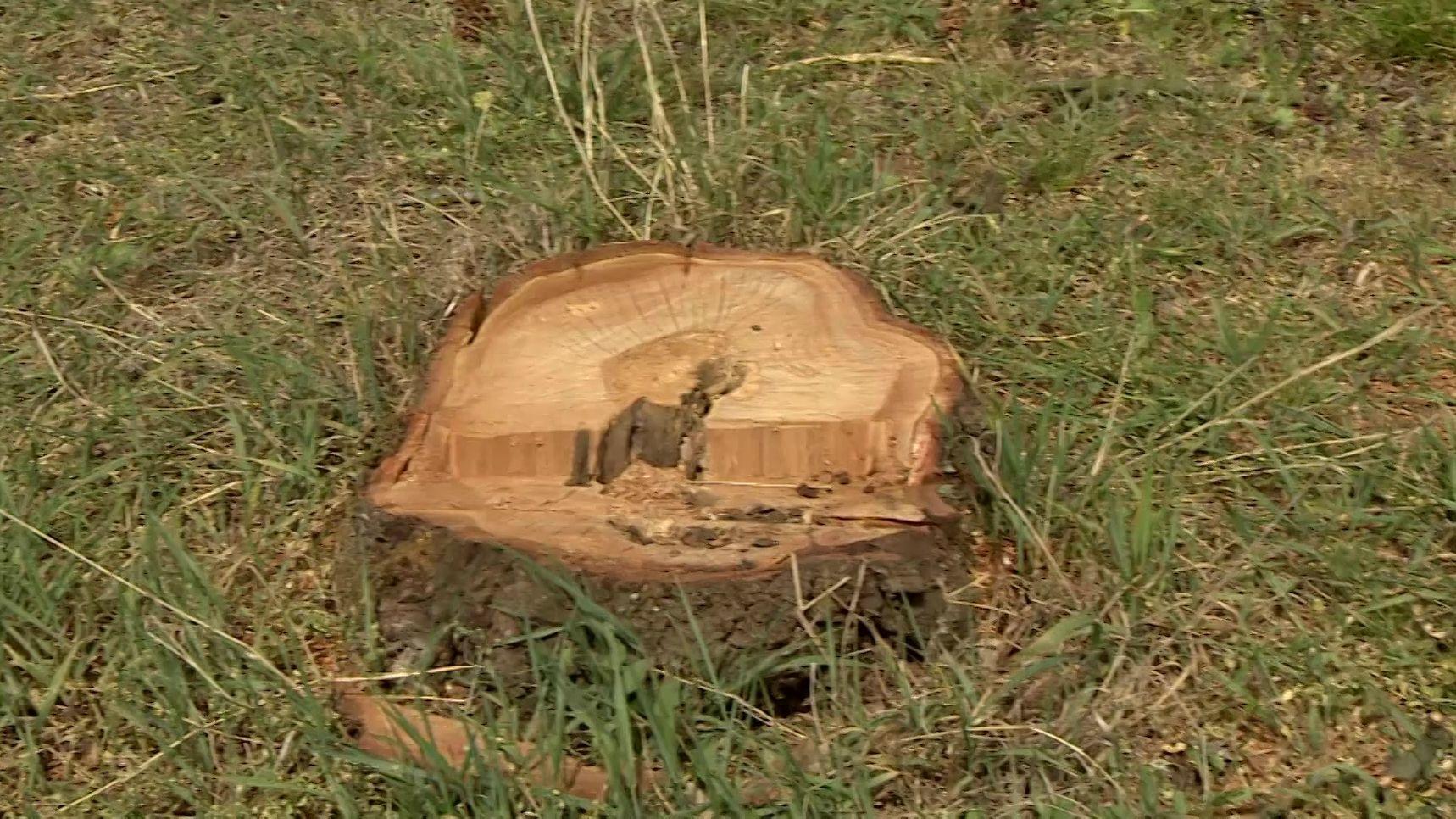 Stumpf eines frisch geschlagenen Obstbaumes