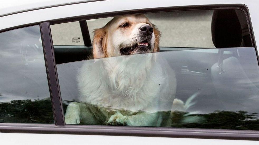 Ein Hund auf dem Rücksitz eines Autos schaut aus dem Fenster