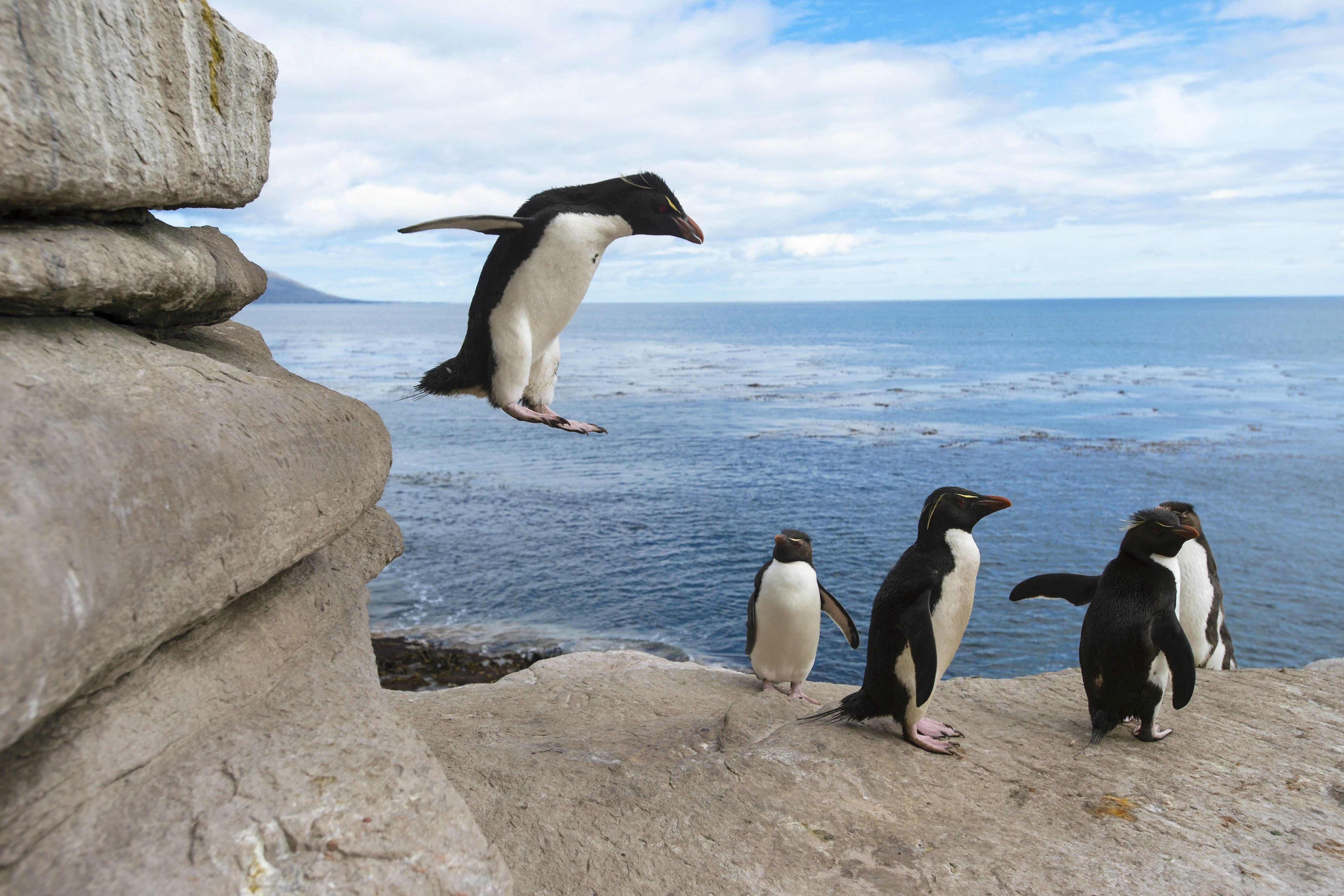 Ehrentag der Pinguine: Kuriose Fakten über die Frackträger