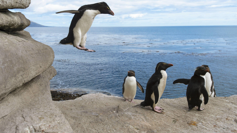 Am 20. Januar ist Ehrentag der Pinguine. Hier sind springende Felsenpinguine zu sehen.